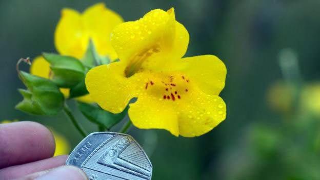 Bilim İnsanları İskoçya'nın Shetland Bölgesinde Yeni Bir Bitki Keşfetti!