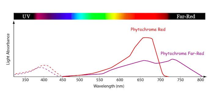 Bitkilerin Işığı Algılamasında Fitokromun Önemi