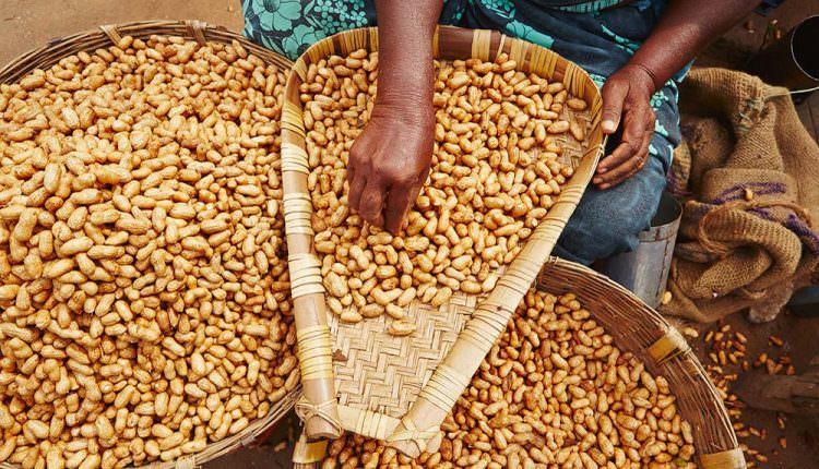 Bilim insanları aflatoksine dayanıklı yer fıstığı geliştirdiler