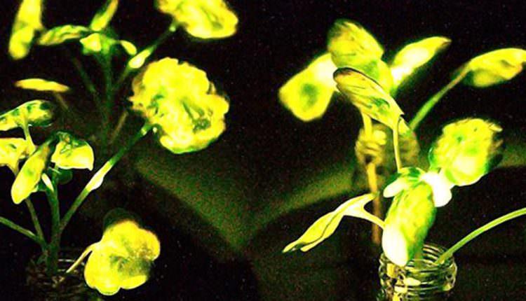 Nanopartikülleri Kullanarak Parlayan Bitkiler Geliştirildi