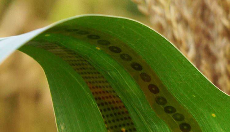 Bitkiler İçin Giyilebilir Cihazlar Üretildi