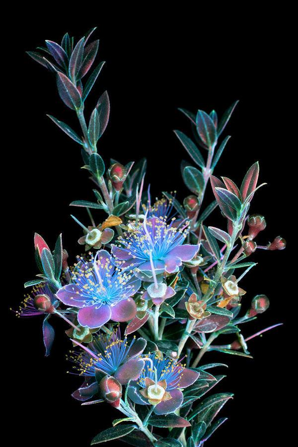 Çiçeklerin Ultraviyole Işık Altındaki İnanılmaz Görüntüleri