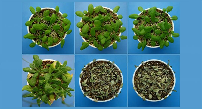 Yeni Keşfedilen Hormon Sayesinde Bitkiler Kuraklığa Dayanabiliyor!