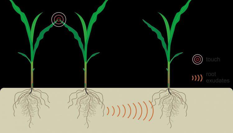 Bitkiler Komşularının Stresli Olduğunu Yer Altı İletişimiyle Öğreniyor