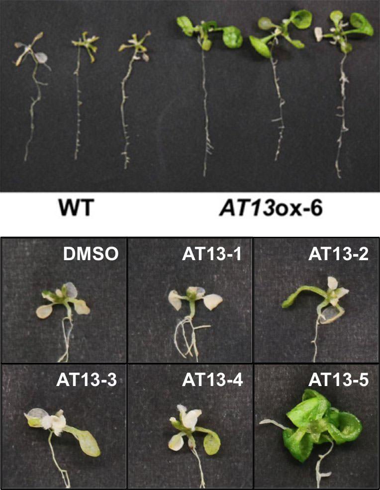 Bitki peptidi, tuz stresinden kurtulmayı yardımcı oluyor
