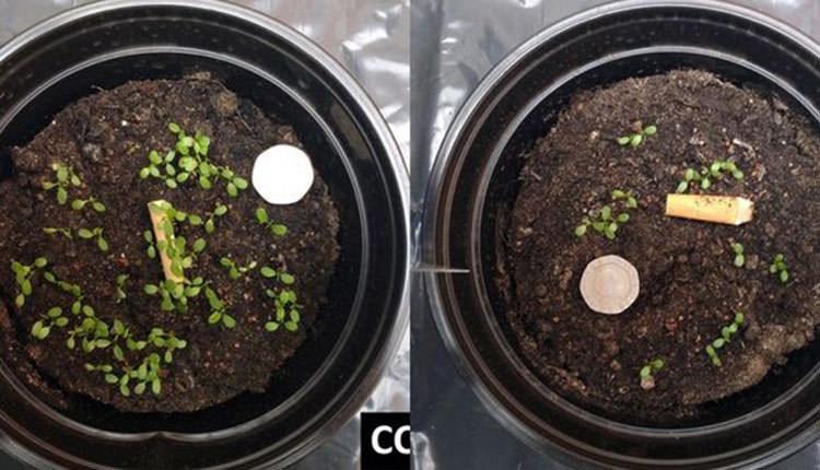 Sigara izmaritlerinin bitki büyümesi üzerine etkileri