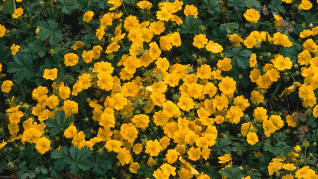 Çiçeklerin İklim Değişikliği Nedeniyle Renk Değiştirdiği Ortaya Çıktı