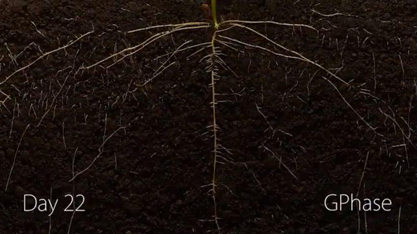 Bitki Kökleri Toprakta Nasıl İlerliyor?